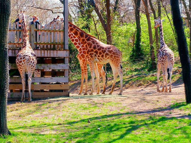 Bronx Zoo en Nueva York - jirafas