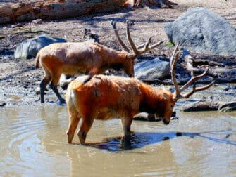 El Zoo del Bronx en Nueva York - Animales bebiendo