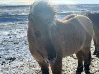 Iceland Stopover on your way to New York Islandpferd