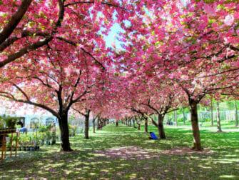 Jardnes botánicos en Nueva York - Cerezos en flor
